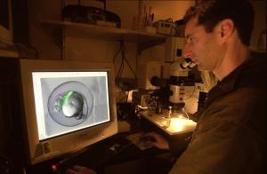 Un miembro del equipo de Juan Carlos Izpisúa mira al microscopio un embrión de pez cebra con un corazón mutado (en verde fluorescente), ya en 2002, en el laboratorio del Instituto Salk de investigaciones biológicas de San Diego (California, EE UU).