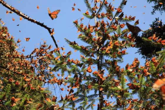 La Reserva de la Biosfera Mariposa Monarca (México)