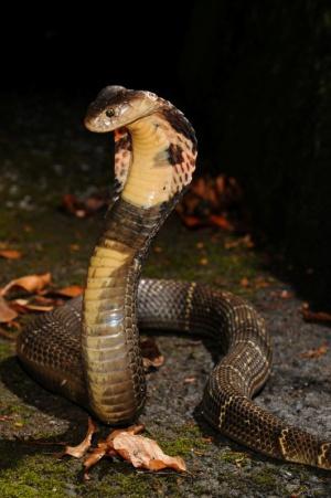 La cobra china se considera una 'delicatessen' en Hong Kong