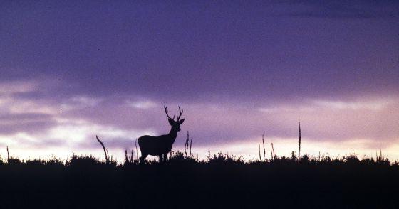 Un ciervo en el Parque Nacional de Doñana (Huelva).