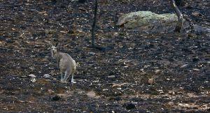 El año pasado fue el más cálido en el este del país desde que hay registros (1910). Arriba, el rastro de un incendio en Coonabarabran, al noreste de Sydney.