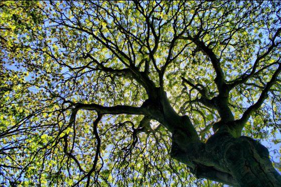 Los árboles aprovechan algo más del 2% de la luz solar que reciben