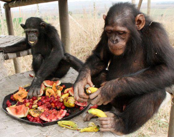 La enzima que metaboliza el etanol está activa en grandes simios como chimpancés, gorilas y humanos pero no en el orangután, el único arborícola. Jane Goodall Institute