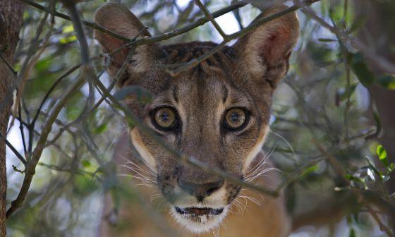El puma es uno de los tesoros de Centroamérica.