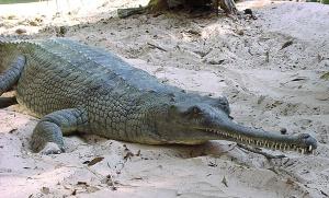 Una especie de cocodrilo indio.