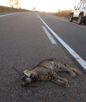 Lince atropellado en la localidad extremeña de Valencia de las Torres, donde también murió envenenado otro ejemplar.