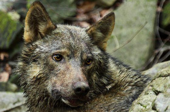 Un lobo en Eslovenia.