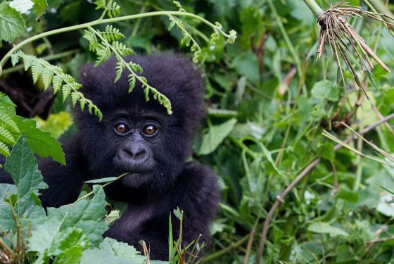 Una cría de gorila de las montañas, una subespecie en peligro crítico de extinción.