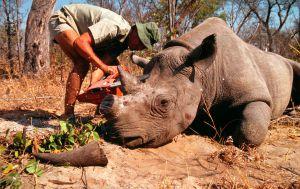 La caza furtiva está acabando con los rinocerontes.