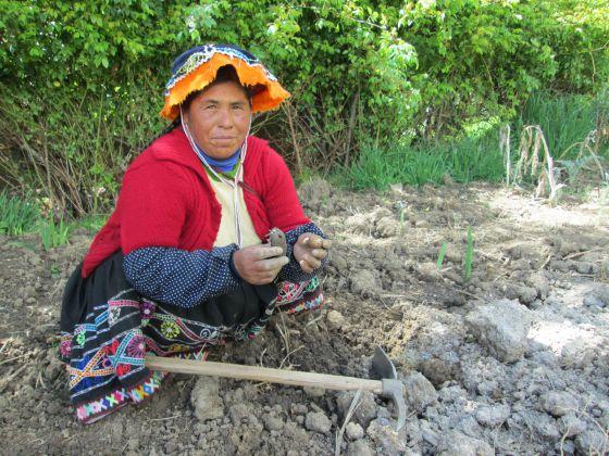 Felícitas, una de las mujeres que siembra papa en su huerto en la comunidad Amaru. Uno de las consecuencias del cambio climático es que los hombres empiezan a procurar trabajos adicionales a la agricultura y las mujeres asumen más responsabilidades en las tareas de la tierra, además de las domésticas.