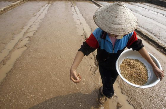 Un granjero sembrando arroz en Ngoc Nu village, al sur Hanoi (Vietnam).