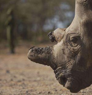 Retrato de Najin, uno de los únicos cinco ejemplares que quedan vivos de la subespecie de rinoceronte blanco del norte.