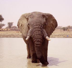 Un elefante en la región de Mali en la que fueron abatidos 19 ejemplares hace unos días.