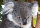 """Australia sacrifica unos 700 koalas por """"problemas de superpoblación"""""""
