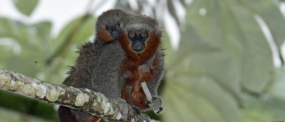 Dos monos de la especie 'Callicebus miltoni', recién descubierta.