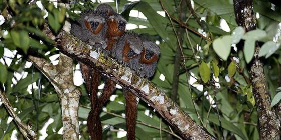 Un grupo de 'C. miltoni', con sus colas entrelazadas.