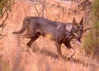 Una débil frontera para el lobo ibérico