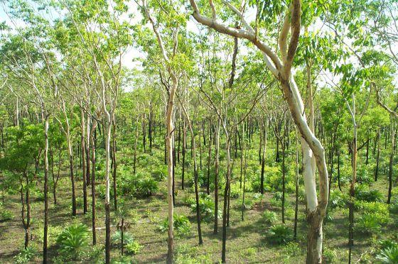 La sabana australiana (en la imagen), de África y el Cerrado amazónico están reverdeciendo, compensando la deforestación de la selva tropical.