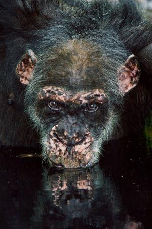 Las chimpancés cazadoras dan pistas sobre los primeros humanos
