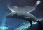 Así nace una ballena beluga