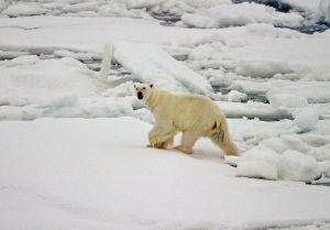 Un oso polar en la superficie helada del Océano Ártico.