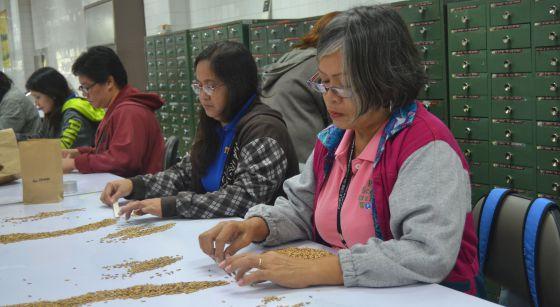 Trabajadores del Instituto Internacional de Investigación del Arroz (IRRI), en Los Baños (Filipinas), seleccionan las semillas que posteriormente se analizarán en los laboratorios del centro.
