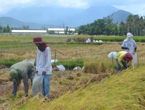 Las variedades de arroz genéticamente modificadas se plantan y analizan dentro del mismo recinto, que cuenta con más de 200 hectáreas de campos de cultivo.