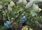 La lengua común del cacao