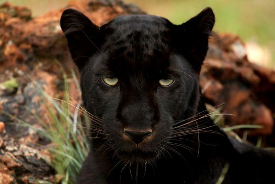 Un leopardo melánico, o pantera negra.