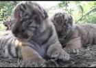"""Así """"rugen"""" los cachorros trillizos de tigre nacidos en un zoo de Crimea"""