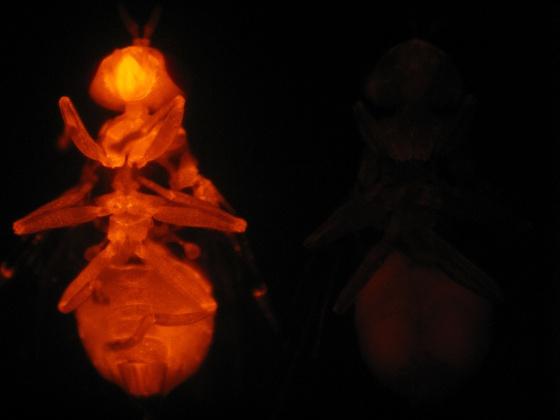 Dos moscas del olivo: la modificada es visible con una luz especial.