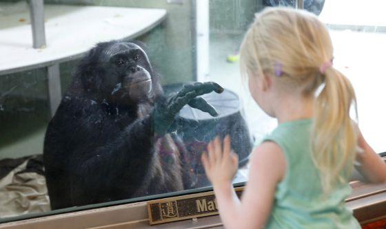 El bonobo Kanzi ha participado en numerosos estudios del lenguaje en simios
