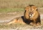 El Día Mundial del León homenajea a 'Cecil'