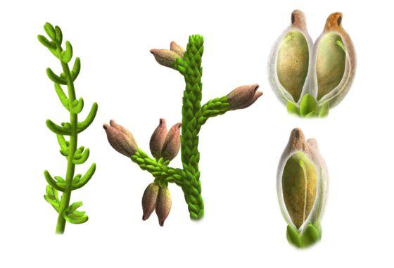 Esta recreación muestra los tallos de la 'Montsechia', a la derecha y un detalle de sus hojas y semillas, a la izquierda.