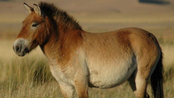 The mystery of Spain's extinct zebra-like horses