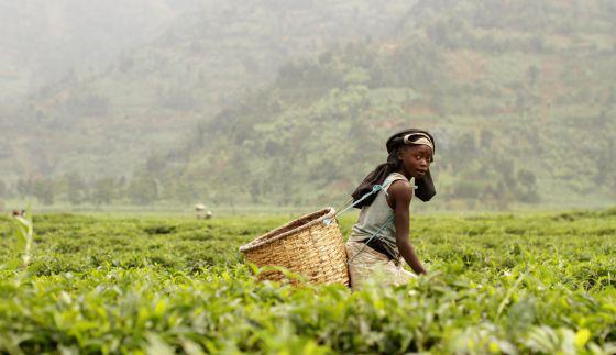 El té de las mil colinas