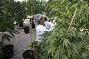 A worker at an Israeli hothouse that grows cannabis for medical purposes.