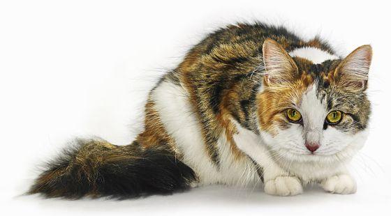 Averigüe si su gato le quiere tanto como lo haría un perro