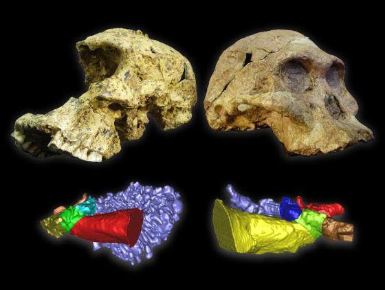 Los cráneos de `Austraolopithecus africanus´ (derecha) y de `Paranthropus robustus´, con sus respectivas reconstrucciones virtuales de los oídos.