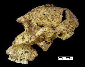 Cráneo de `Paranthropus robustus´, homínido de hace 1,8 millones de años hallado en Sudáfrica.