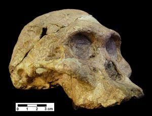 Cráneo de `Austraolopithecus africanus´, homínido de hace 2,5 millones de años hallado en Sudáfrica.