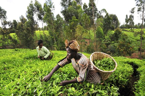 Recolectoras de té en la región Mount Kenia.