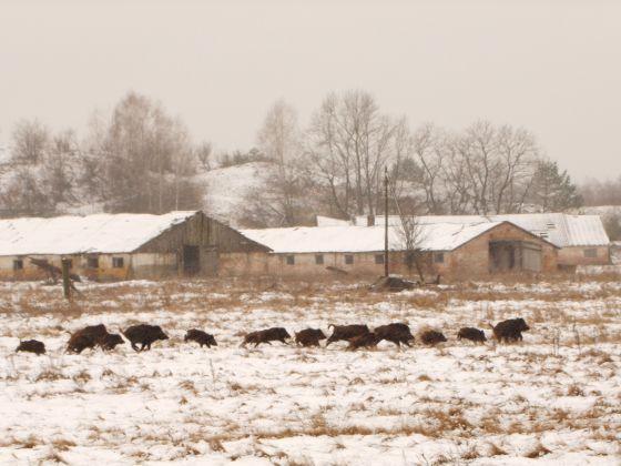 Un grupo de jabalíes en Chernóbil