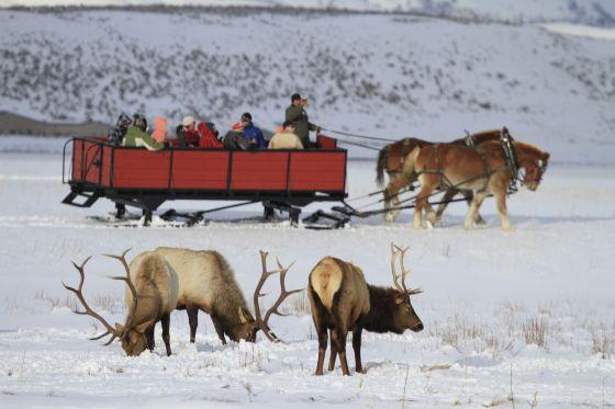 Los ciervos y antílopes del Parque Nacional Grand Teton (EEUU) reducen su estado de alerta en presencia de los turistas.
