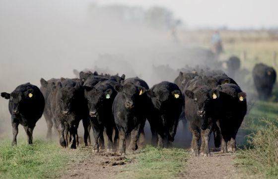 Un grupo de terneros en un rancho situado a un centenar de kilómetros de Buenos Aires, Argentina