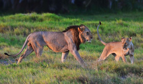 El peligro de un mundo sin leones en libertad