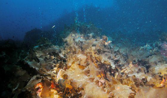 Bosques de kelp dentro de las surgencias.