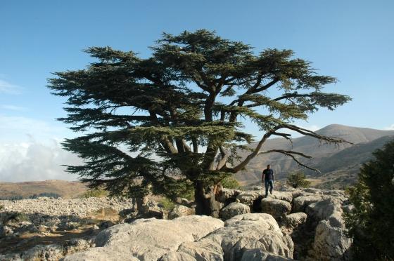 Un cedro centenario en la reserva natural de Tannourine (Líbano).