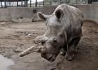 Ya solo quedan tres rinocerontes blancos del norte en todo el mundo
