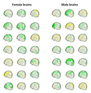 El volumen de las distintas regiones cerebrales (en verde, más grande y en amarillo, más pequeña) de 42 personas muestra cómo se solapan el cerebro masculino y el femenino.